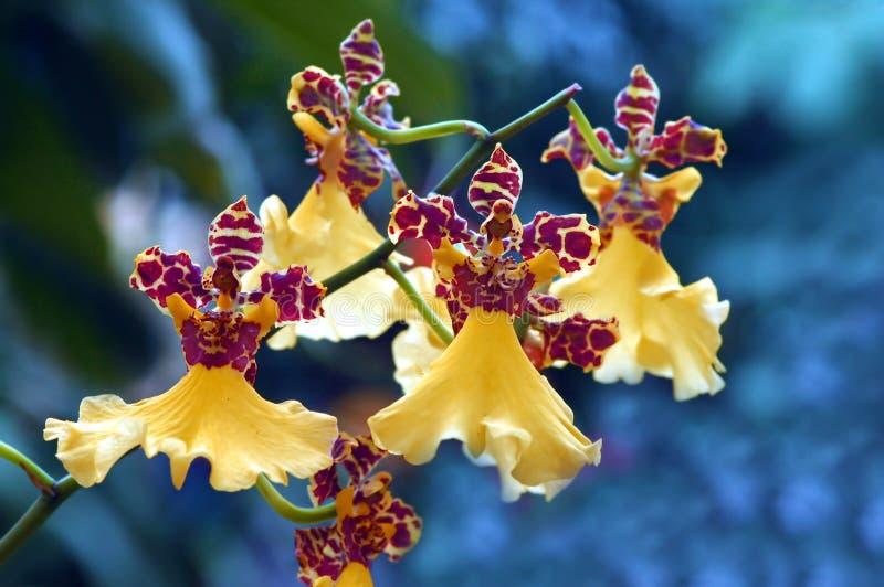 Tanzende gelbe Orchideen lizenzfreie stockfotografie