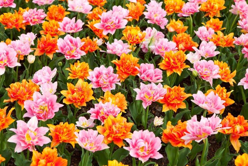 Tapet med färgrika holländska tulpan arkivfoto