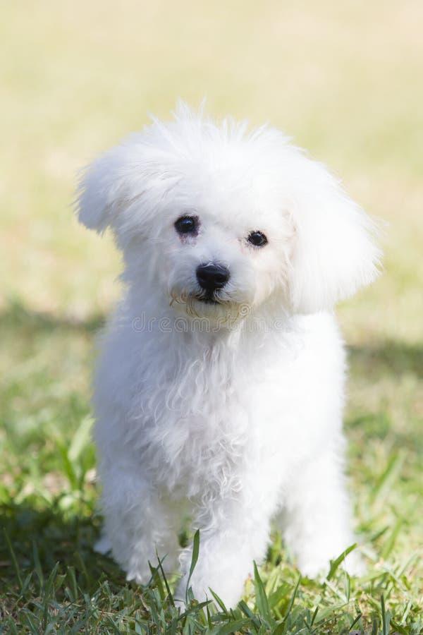 Tapet: vit hund för nallebjörn arkivfoto