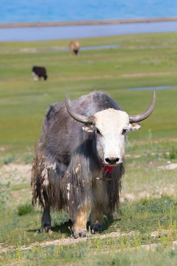 Tapet: yak fotografering för bildbyråer