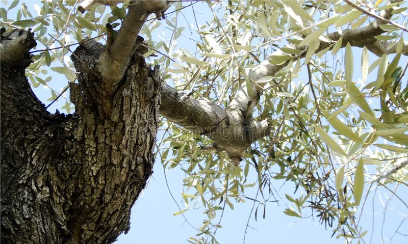Tapeta z zbliżeniem gałąź stary drzewo oliwne na bławym nieba tle obrazy stock