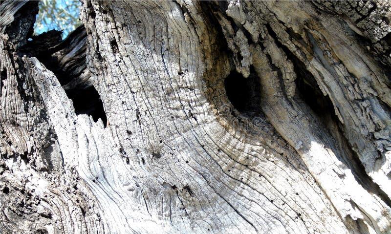 Tapeta z zbliżeniem stary drzewo oliwne bagażnik na bławym nieba tle obraz stock