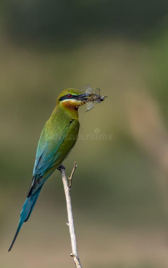 Tapete: Blauer angebundener Bienen-Esser mit Drachefliegenfang stockfotografie