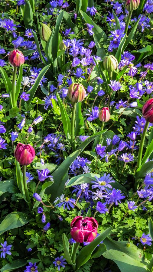 Tapete da flor em Países Baixos foto de stock royalty free