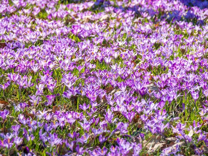 Tapete de flores roxas do açafrão imagem de stock royalty free
