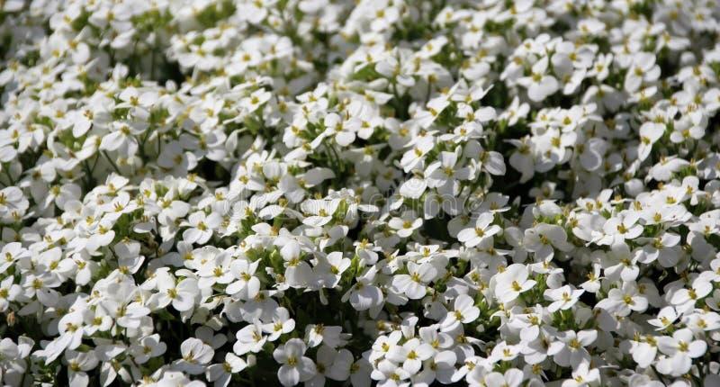 Tapete de florescência de Aubrieta branco Aubretia imagem de stock royalty free