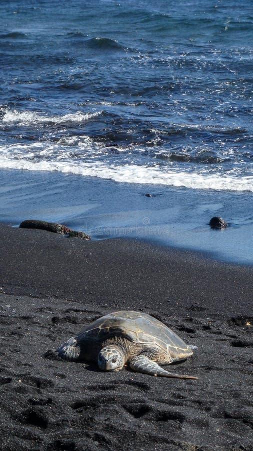 Tapete des Stillstehens der hawaiischen grünen Meeresschildkröte stockbild