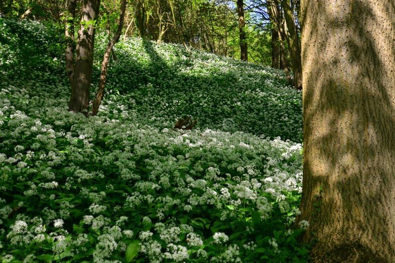Tapete do alho selvagem de florescência do urso em Savelsbos, Holanda imagens de stock royalty free
