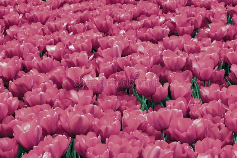 Tapete vívido pitoresco de tulipas de florescência do rosa Para todos os momentos brilhantes da vida, amor romântico, dia do ` s  foto de stock royalty free