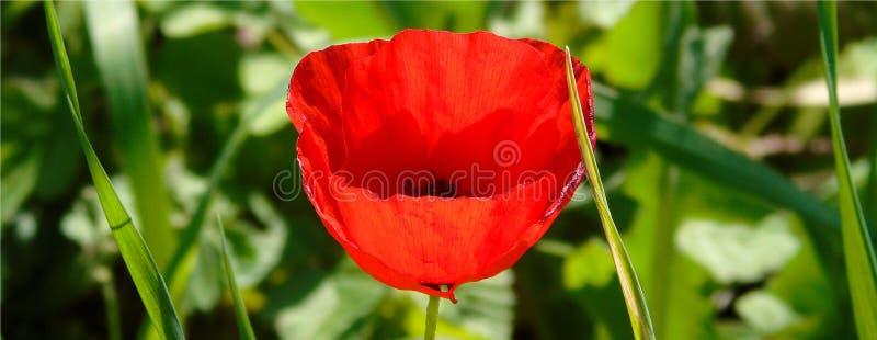 Tapezieren Sie mit Nahaufnahme der roten Mohnblumenblume auf grünem Wiesenhintergrund stockbild