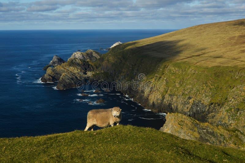 Tapfere Schafe an den Klippen stockfotografie