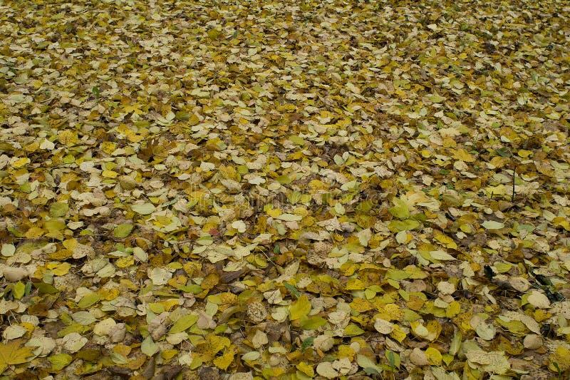 Tapijt van gele bladeren die op de grond in de herfst liggen royalty-vrije stock foto's