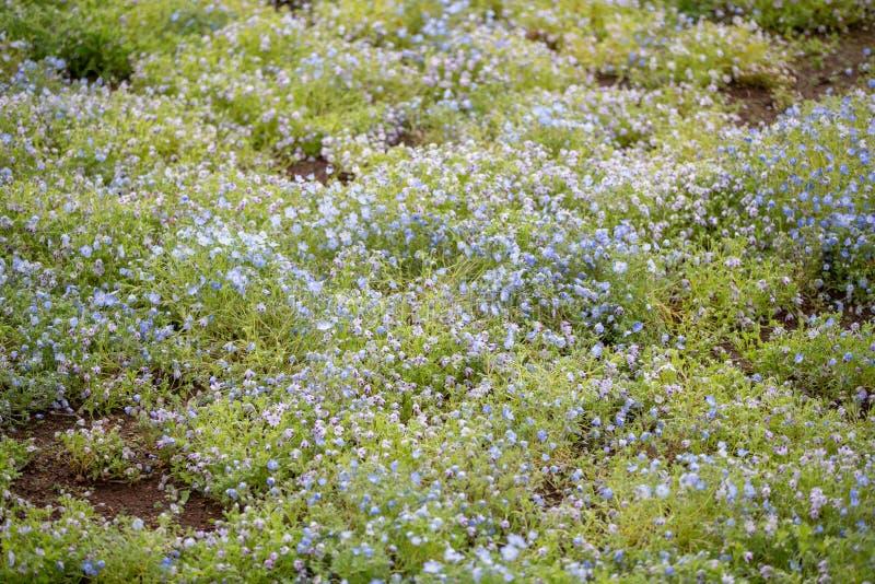 Tapijt van Nemophila, of bloem van baby de blauwe ogen royalty-vrije stock fotografie