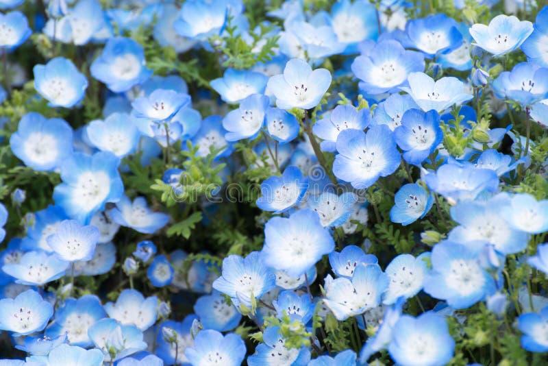 Tapijt van Nemophila, of bloem van baby de blauwe ogen stock afbeelding