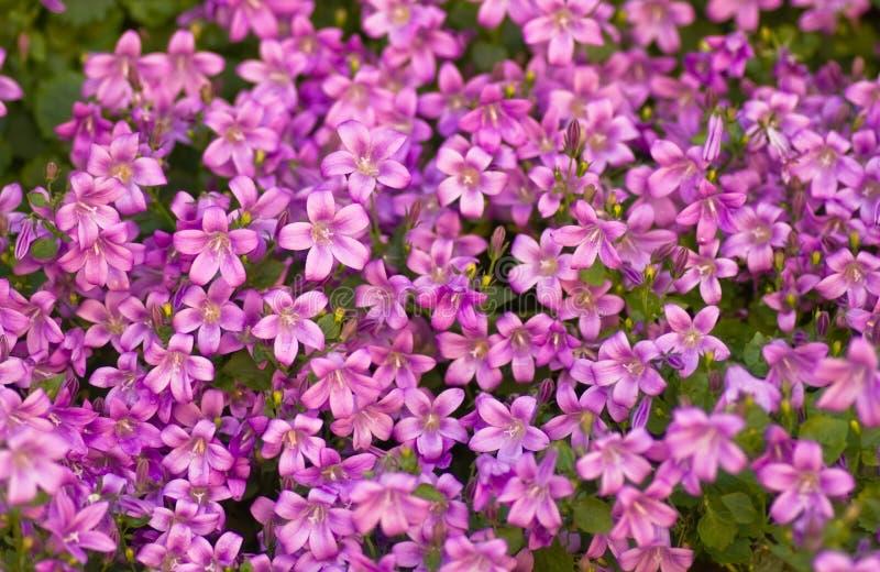 Tapijtwerk van roze bellflowers of Klokje stock foto