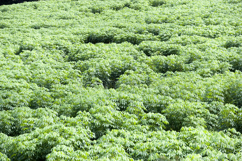 Tapioca Plantation royalty free stock photos