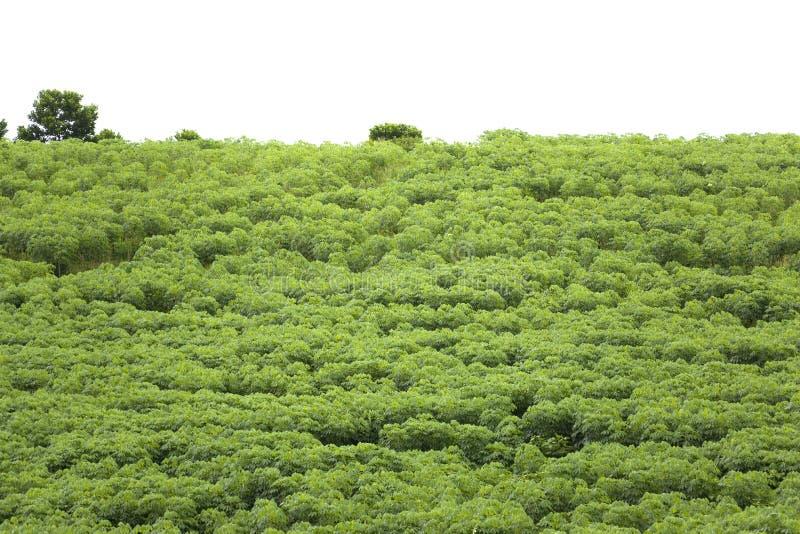 Tapioka-Plantage lizenzfreie stockbilder