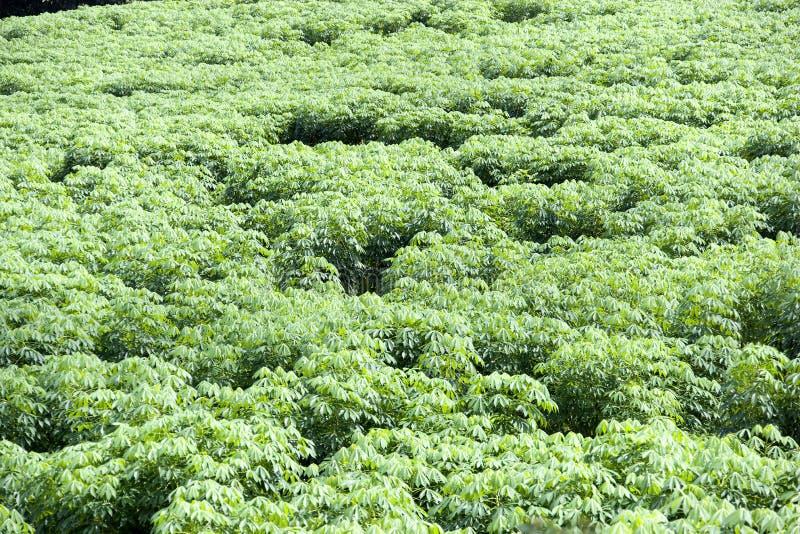 Tapioka-Plantage lizenzfreie stockfotos