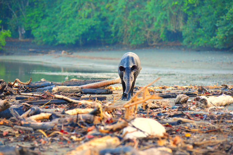 tapir άγρια περιοχές στοκ εικόνα με δικαίωμα ελεύθερης χρήσης