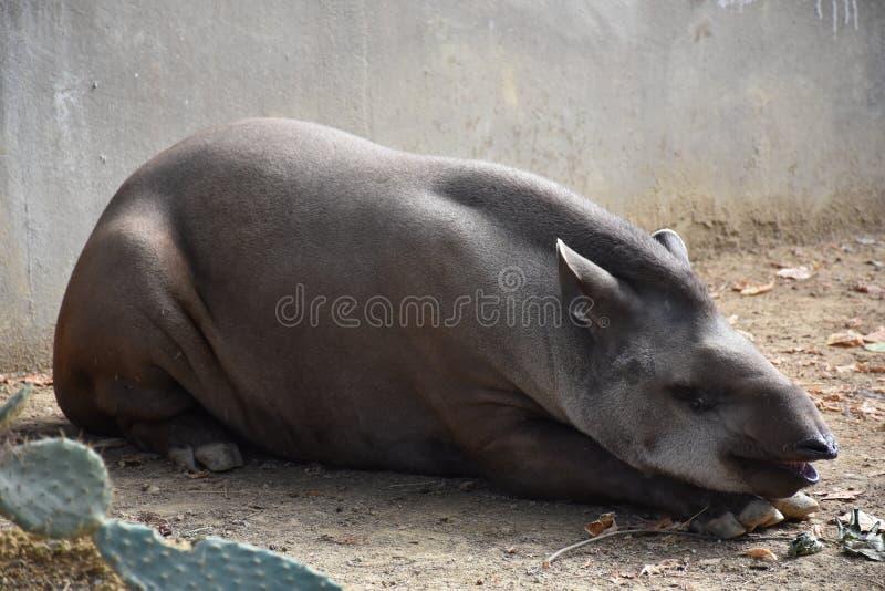 tapir imagen de archivo libre de regalías