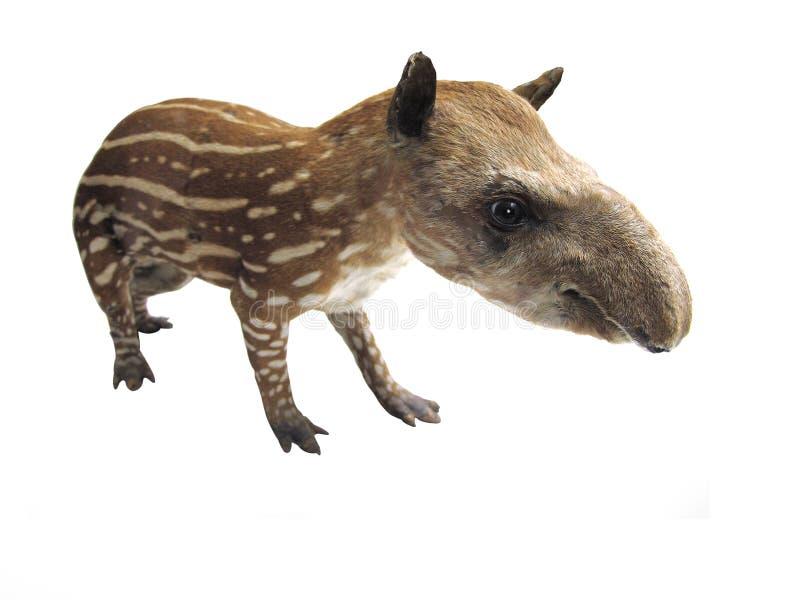 tapir obrazy royalty free