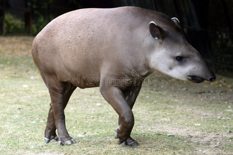 Tapir royalty free stock image