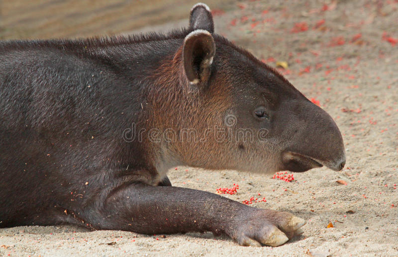 Tapir photo libre de droits
