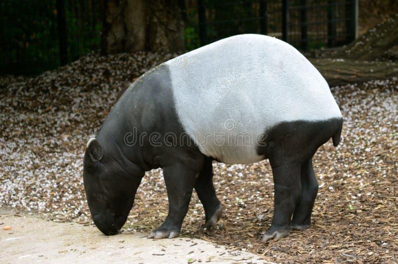 tapir imagem de stock