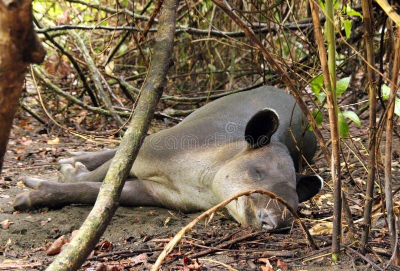Download Tapir foto de archivo. Imagen de sleeping, selva, parque - 44850278