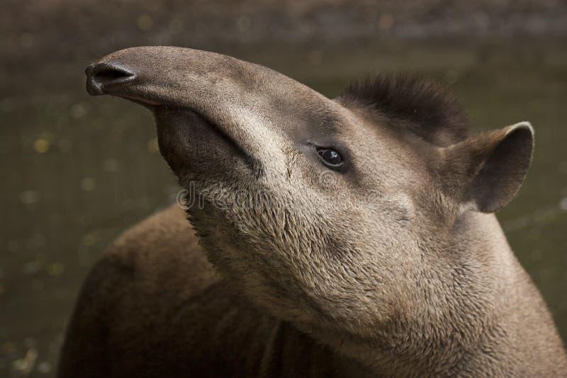 tapir imagenes de archivo