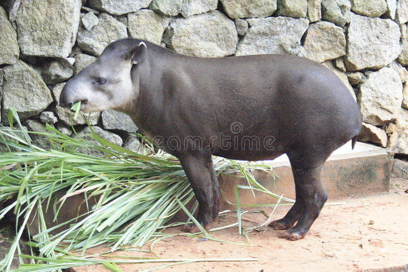 tapir royaltyfri bild