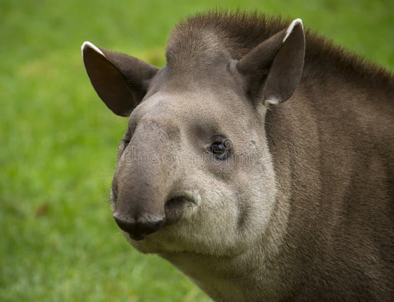 tapir στοκ εικόνα