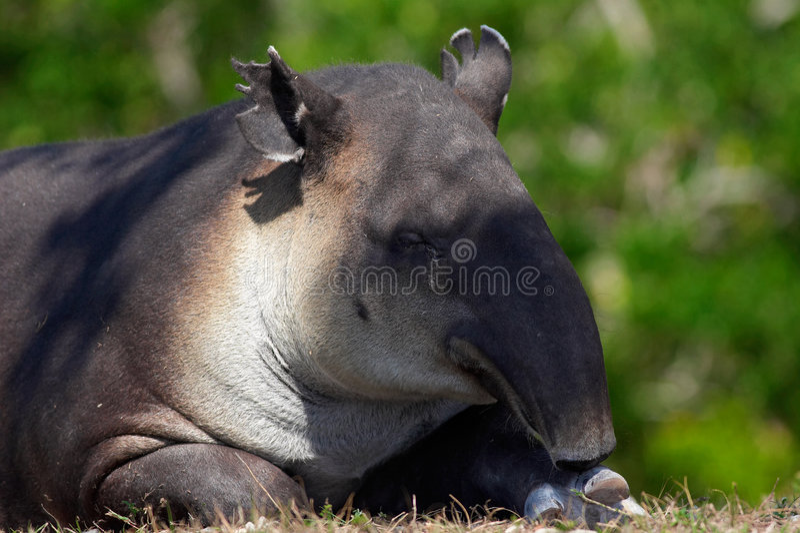 tapir στοκ φωτογραφίες