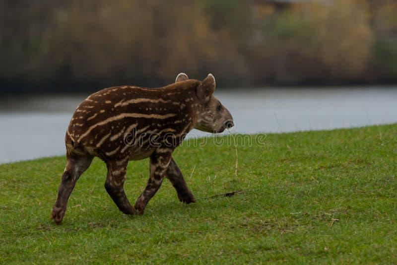 Tapir américain photos libres de droits