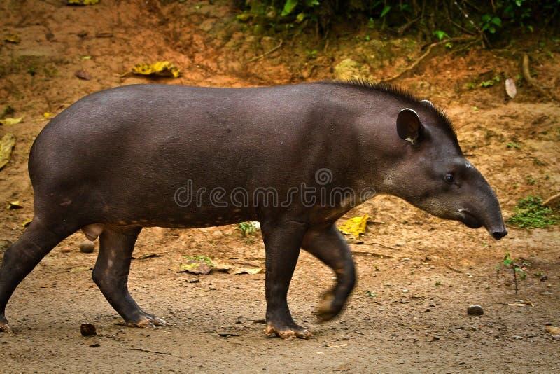 Tapir in Amazonas-Regenwald, Nationalpark Yasuni lizenzfreies stockbild