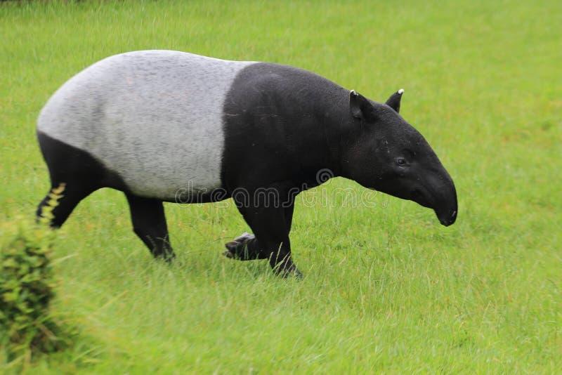 Tapir asiatico immagini stock libere da diritti