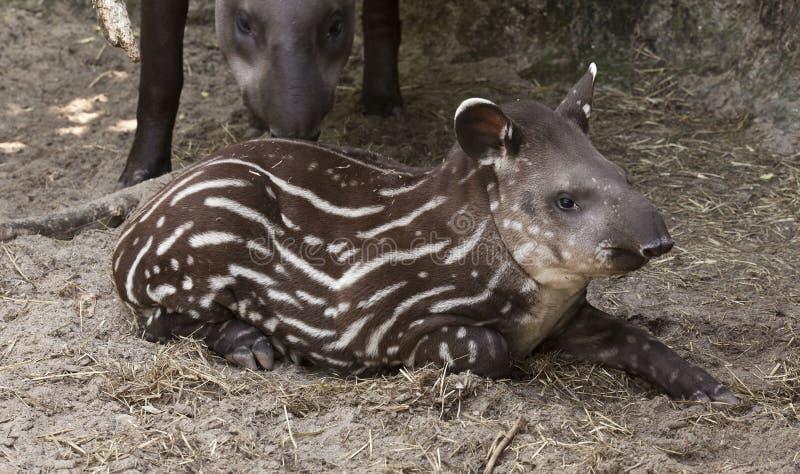 Tapir behandla som ett barn royaltyfri bild