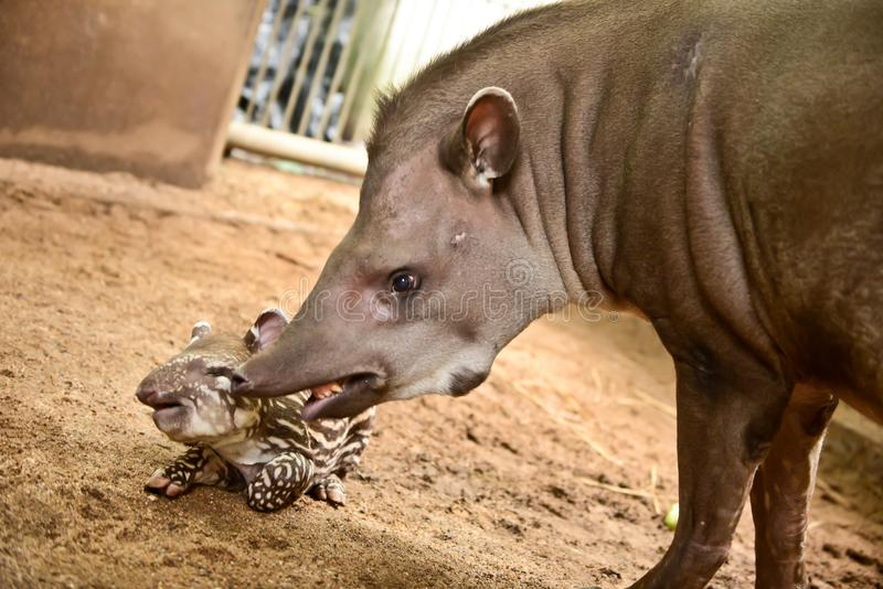 Tapir brésilien photo libre de droits
