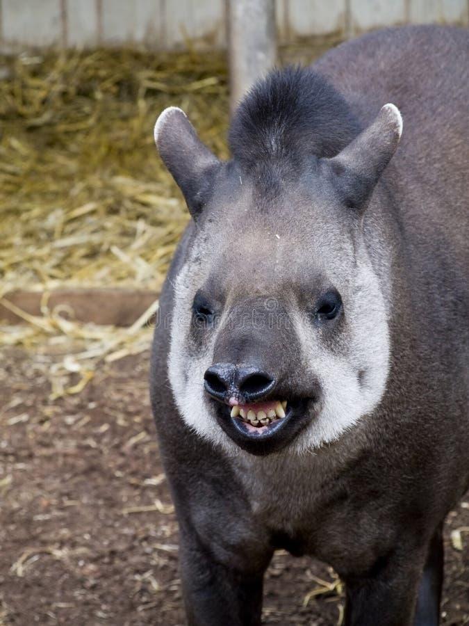 Tapir brasileiro com um sorriso grande fotos de stock royalty free
