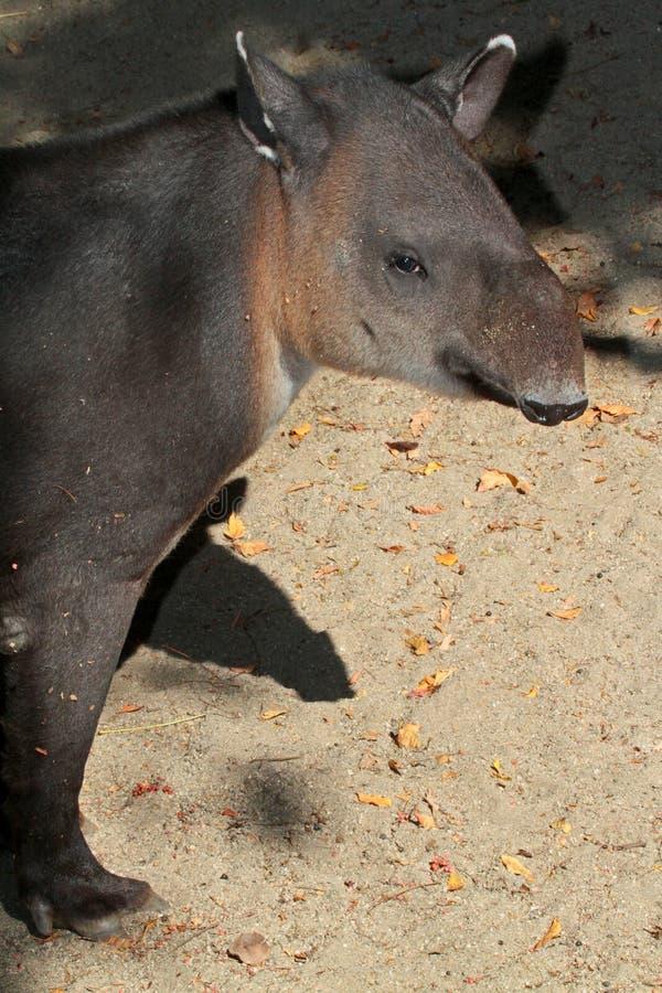 Tapir. Close Up Of Rare Mountain Tapir In Sun stock photography