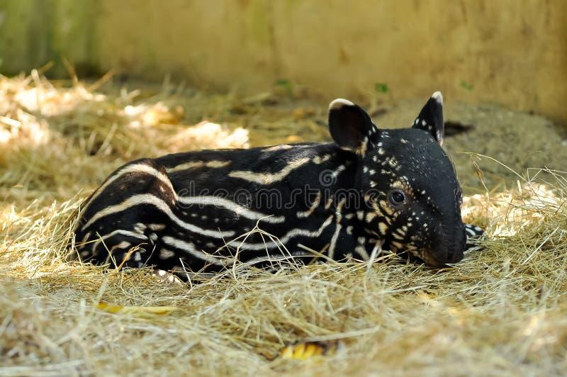 Tapir de chéri photographie stock