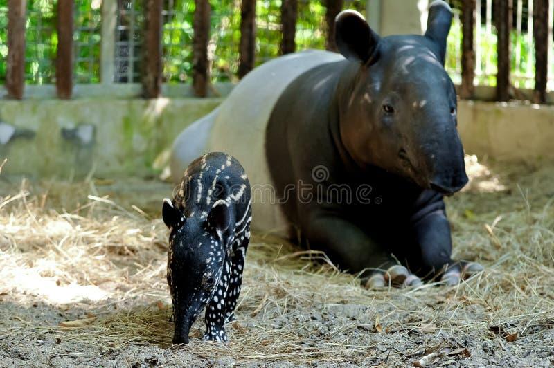 Tapir de mère et de bébé photos libres de droits