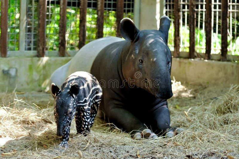 Tapir de mère et de bébé photos stock