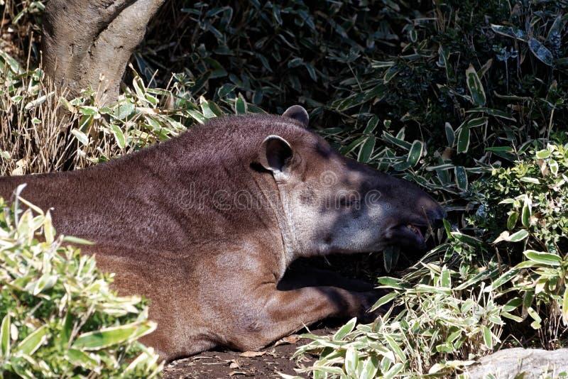 tapir du sud américain photo stock
