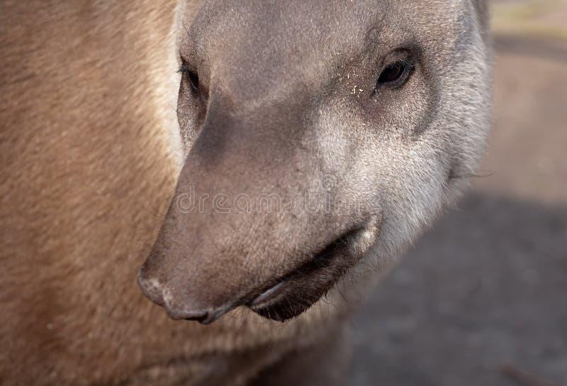 Tapir dyszy śmieszny portret fotografia royalty free