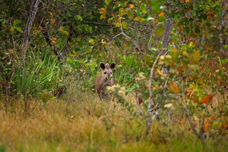 Tapir in habitat, verborgen groene vegetatie Tapir in aard Zuidamerikaanse Tapir, Tapirus-terrestris, in groene vegetatie Dicht-u stock afbeeldingen