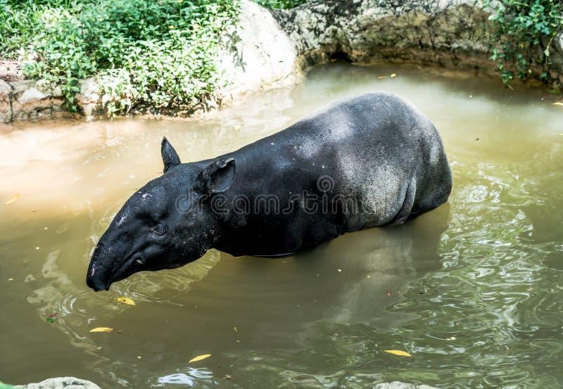 Tapir i zoo arkivfoton