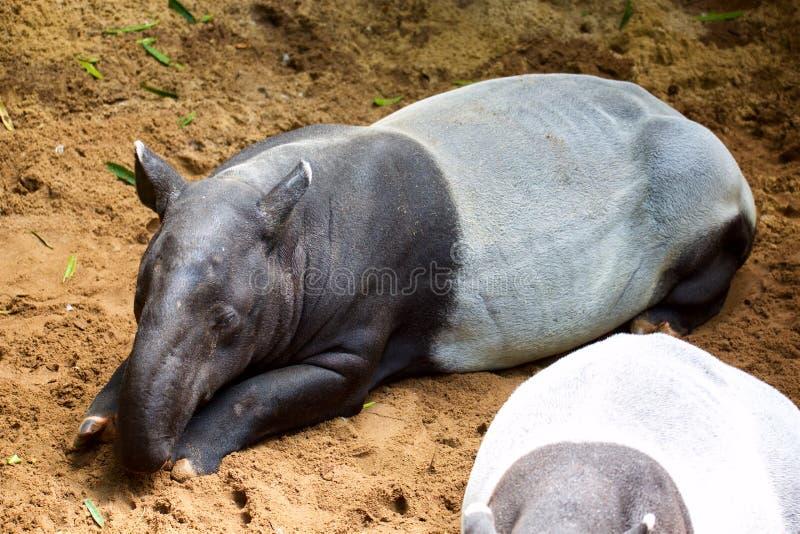 Tapir malais photo libre de droits