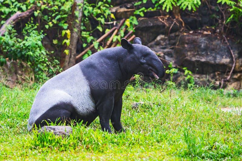 Tapir malais photo stock