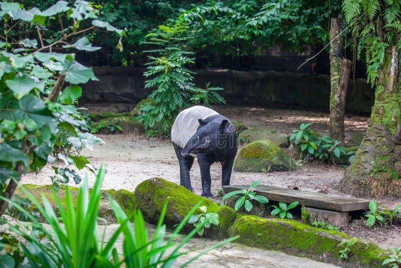Tapir malais dans le zoo images libres de droits